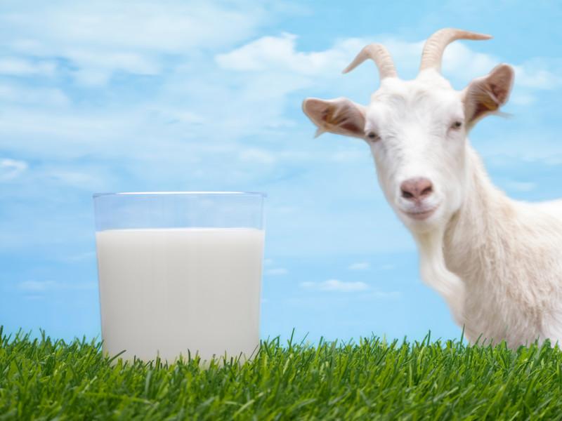 полезные свойства козьего молока при сахарном диабете