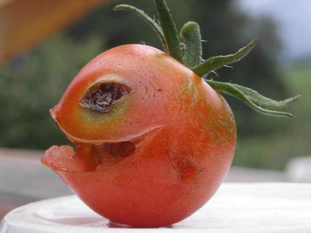 Чем помидор не полезен?