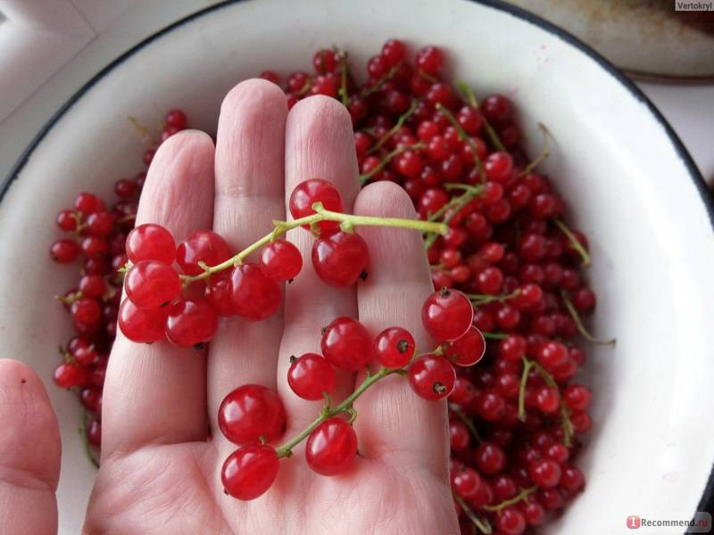 Красная смородина при диабете