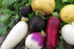 Редька при диабете: черная, дайкон, зеленая и белая