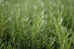 Лечим сахарный диабет фитотерапией: помощь трав