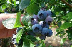 Польза листьев черники при сахарном диабете: снижение сахара в крови