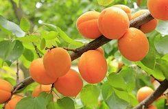 Можно ли есть абрикос при сахарном диабете?